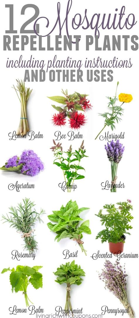 repellent plants best mosquito repellant ideas on