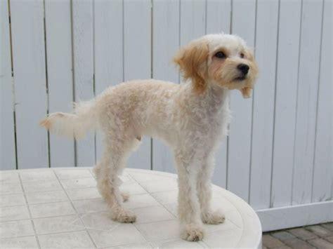 como cortar el pelo a mi perro shih tzu c 243 mo cortar el pelo a mi perro mascotas