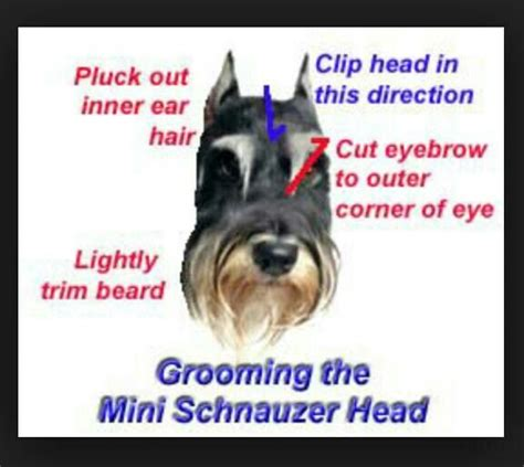 schnauzer hair cut step by step videio 53 best dog grooming x images on pinterest dog grooming