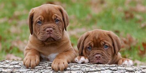 dogue de bordeaux puppy dogue de bordeaux information characteristics facts names