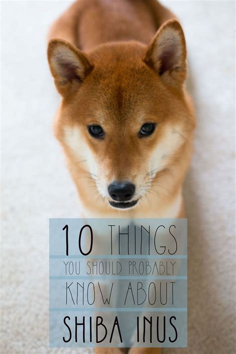 all about the shiba inu shiba inu temperament other things you should about
