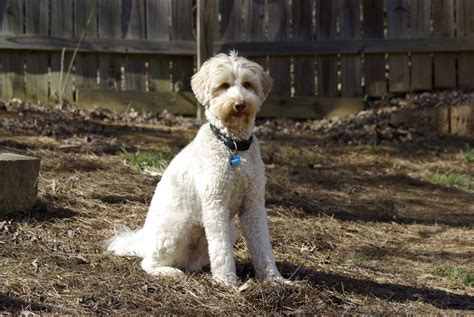 labradoodle puppies for sale in ga puppies for sale australian labradoodle miniature medium standard labradoodle