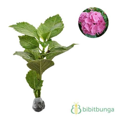 Jual Bibit Hydrangea tanaman forever pink mophead hydrangea jual tanaman hias