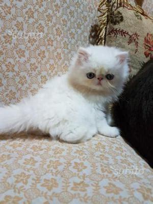 vendo gatti persiani vendo cuccioli di gatti persiani posot class