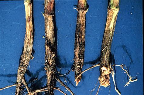 soybean diseases