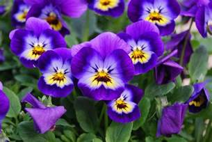 Reno Flowers - how to grow violas in a home garden