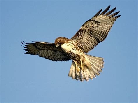 live red tailed hawk nest at cornell university all