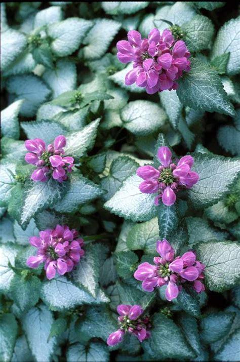 best purple cover 18 best flowering ground cover plants balcony garden web