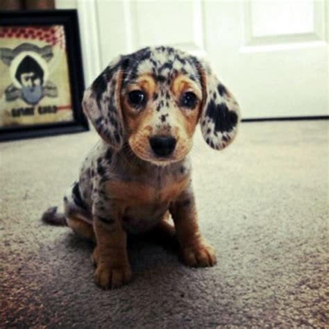 doxon puppies and now more dachshund puppy pictures than you can handle