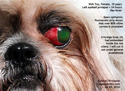 shih tzu eye discharge swollen eye with worsening discharge in car interior design