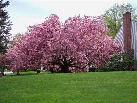 4 Best Cherry Trees To Grow In The South Cherry Tree Pictures