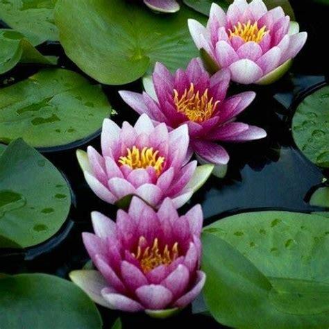 posizione fiore di loto padmasana il fiore di loto