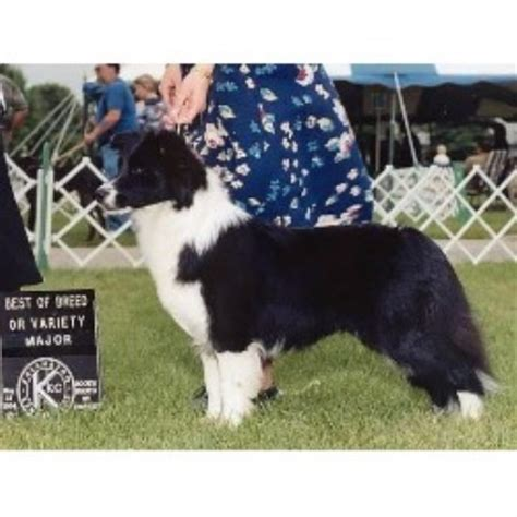 border collie puppies michigan riverrun border collies border collie breeder in cedar springs michigan 49319