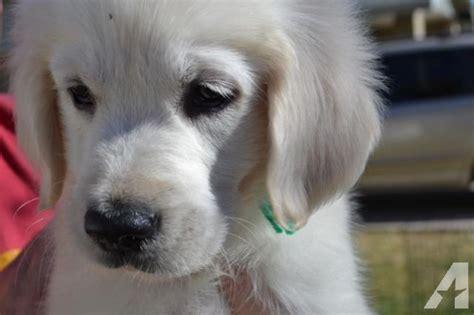 golden retrievers for sale in az 100 creme golden retrievers puppies akc for sale in buckeye arizona