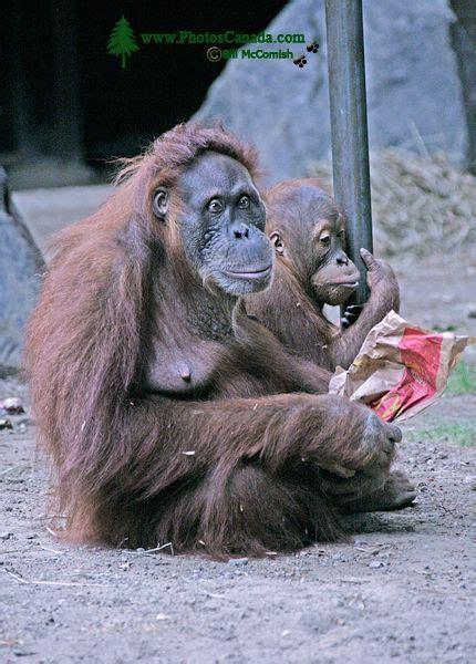orangutans for sale photoscanada gallery toronto metro zoo may 2010
