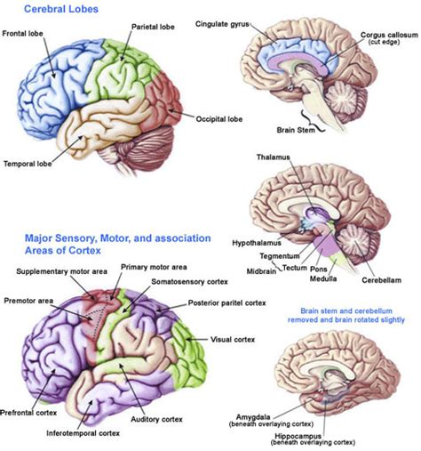 for the brain dr diane brain health brain injury and your brain dr