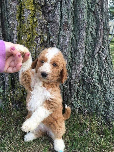 mini goldendoodles rochester ny golden doodle for sale photo