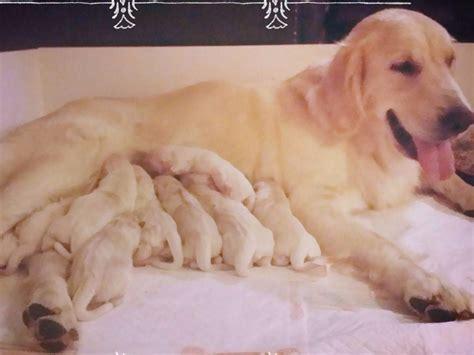 golden retriever puppies in mississippi european blend golden retrievers breeders terry ms
