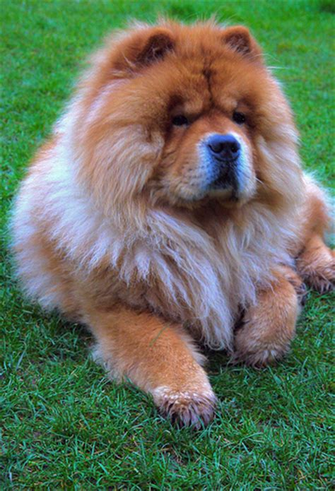 oldest breed what is the oldest breed of 14 ancient breeds pawsitively pets