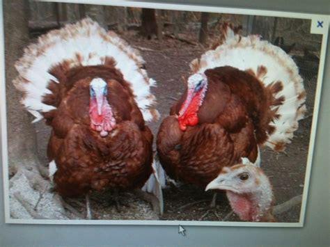 raising six turkeys for thanksgiving raising turkeys pinterest
