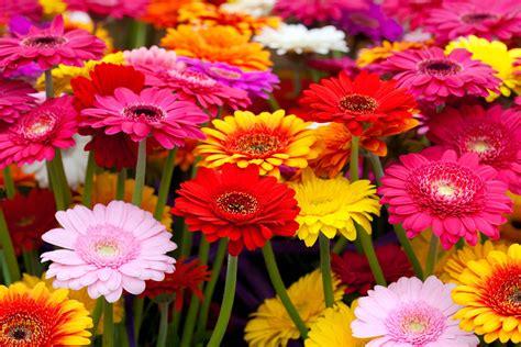 Gerbera Garten Pflanzen by Gerbera Im Topf Im Garten Als Schnittblume Plantura