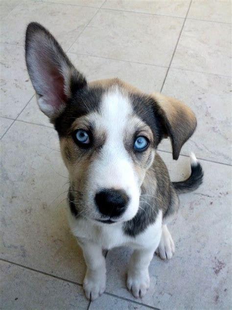 basenji mix puppies husky basenji mix my soon to be puppy hunters and the o jays