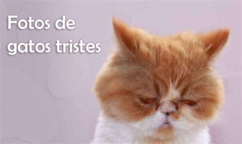 imagenes gatos tristes fotos de gatos tristes hogarmania