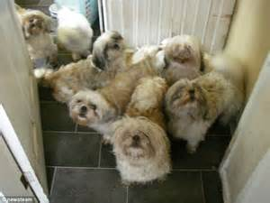 rspca shih tzu rspca inspectors find 29 shih tzus suffering at filthy and unhygienic house
