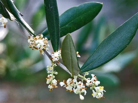 fiori di olivo parco naturale regionale di montemarcello magra vara