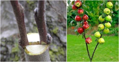grafting fruit trees step by step graft a tree how to