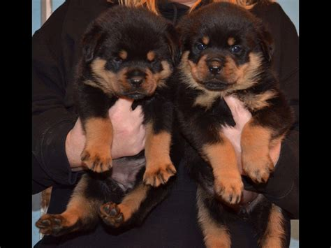 world class rottweilers world class rottweilers rottweiler puppies for sale