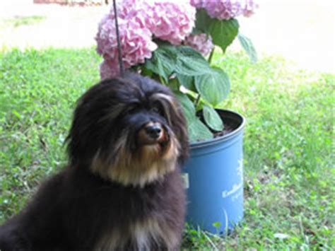 devita havanese retired dogs at bug havanese
