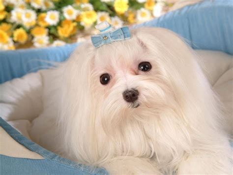 maltese puppies maltese dogs wallpaper dogs wallpaper 13937319 fanpop