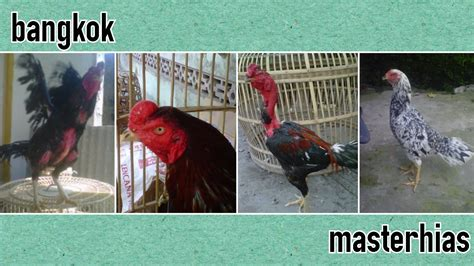 Daftar Bibit Ayam Bangkok daftar harga ayam hias masterhias masterhias
