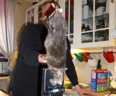 topo in cucina il topo di 40 centimetri scoperto in cucina giornalettismo