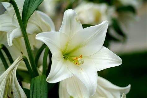 lilies are considered as an ancient flowers and available