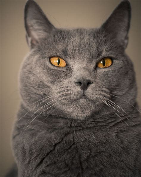 by cat chartreux cat