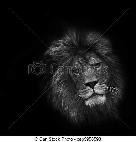 imagenes leon negro pel 237 culas de ojo gracioso retrato macho le 243 n negro