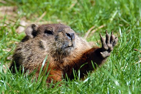 groundhog day like the fox and the ground hog aesops fails