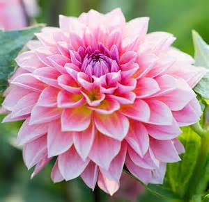 how to grow dahlias a blog by sunset
