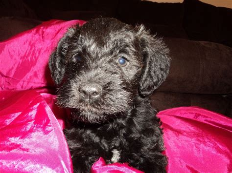 schnauzer doodle puppies for sale miniature labradoodle x miniature schnauzer thetford