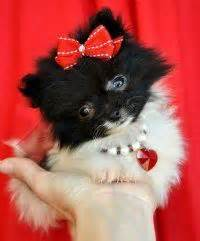 teacup pomeranian for sale sydney 1000 images about puppies for sale on puppies for sale for sale and puppys