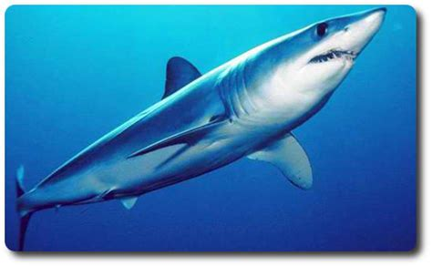 what color are sharks the three fastest sharks in the world