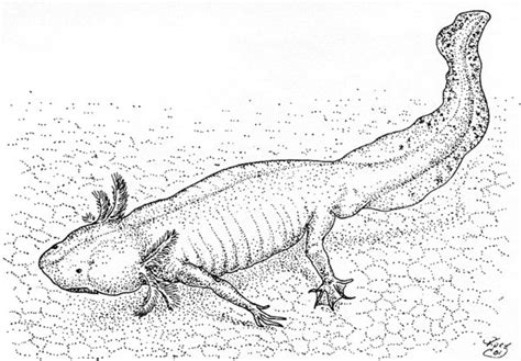 Axolotl Coloring Page by Axolotl Coloring Page Sketch Coloring Page