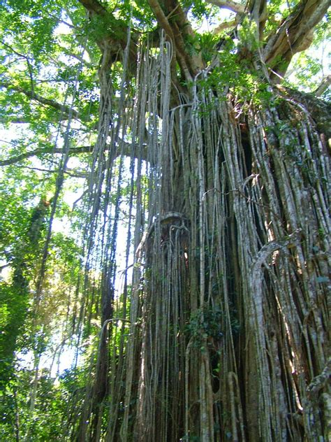 curtain fig tree stories from shannonvale aka the moth man from mossman