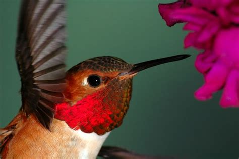 how to make hummingbird food good to know pinterest