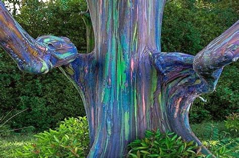 natural wonders the rainbow eucalyptus tree of the