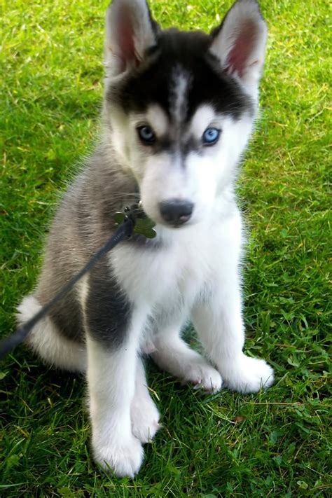 husky puppies with blue blue siberian husky