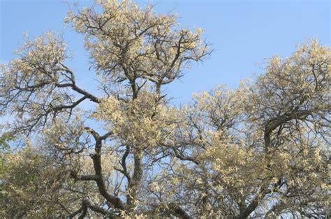 Knob Tree the knob thorns are flowering the slowvelder