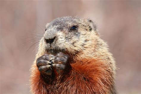 groundhog day killer groundhog how to get rid of groundhogs groundhog